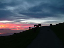 Cattle at sunset on Mission Peak, Fremont, CA