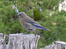 Bluebird in NM